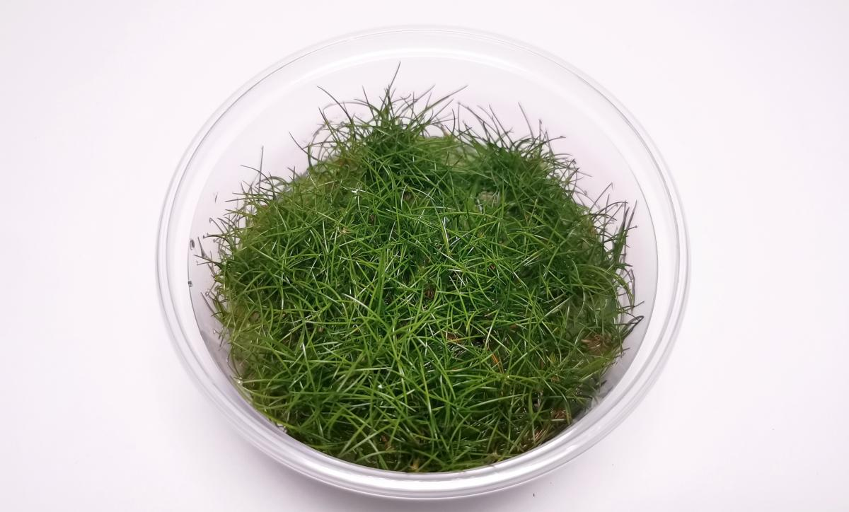 Eleocharis sp. Mini / XL Becher 8,5cm