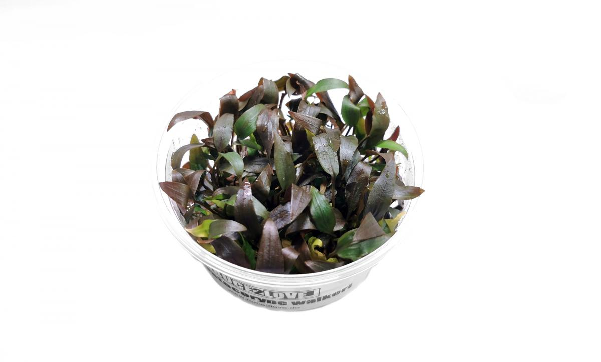 Cryptocoryne walkeri - XL Becher